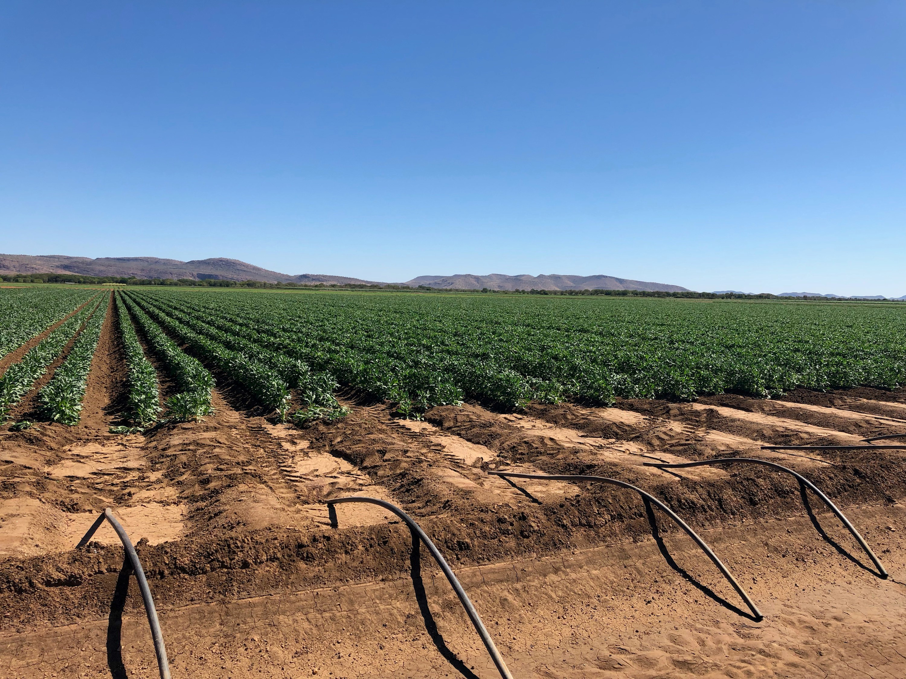 Cotton crop growing in irrigation in Kununurra WA