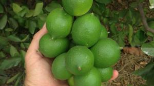 a bunch of limes on a tree being held by a man's hand