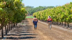 Two men walking through row of mango trees in the NT